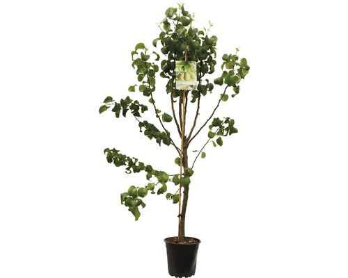 FLORASELF Perenboom Pyrus Beurre hardy